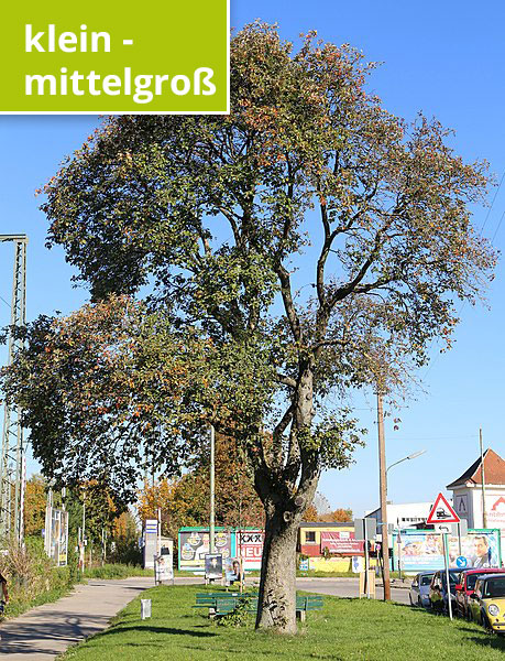 "Rufus46 (https://commons.wikimedia.org/wiki/File:Mehlbeere_Sorbus_aria_Papinstr._Neuaubing_Muenchen-1.jpg), ""Mehlbeere Sorbus aria Papinstr. Neuaubing Muenchen-1"", https://creativecommons.org/licenses/by-sa/3.0/legalcode"
